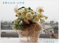 漳州水仙花之复瓣图展一