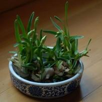 水仙花盆栽-水养含苞欲放